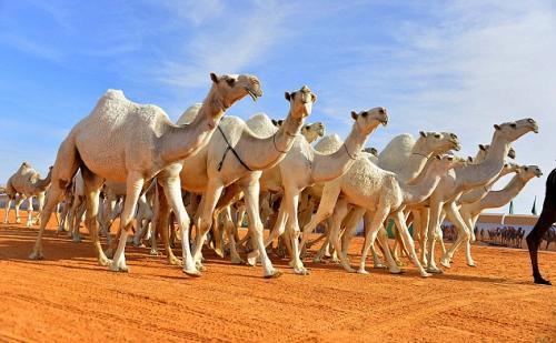 Suhu ekstrem melanda Arab Saudi