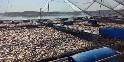Puluhan Ton Ikan Mati di Sragen (Said Masykuri.KRJogja)