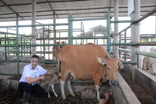 Sapi Bali yang baru melahirkan