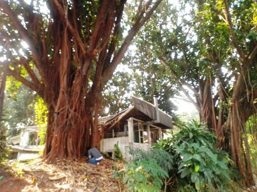 Pohon Genderuwo