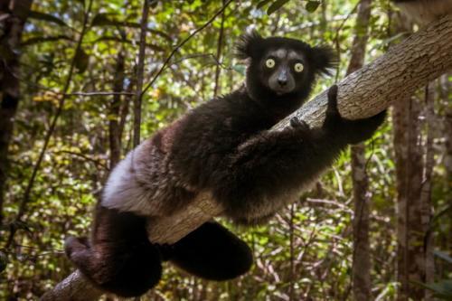 Lemur Indri yang langka