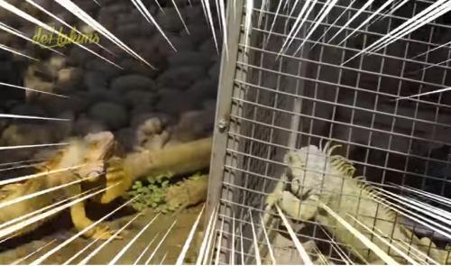 Iguana Irfan hakim
