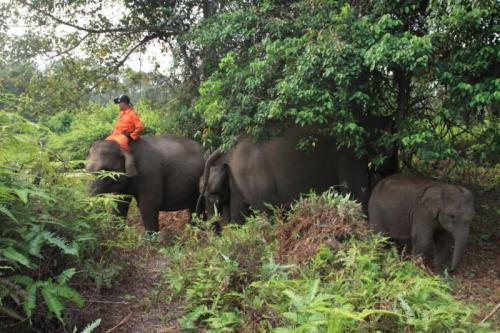 Gajah di Taman Nasional Tesso Nilo Dievakuasi Saat Kebakaran Hutan (foto: Ist)