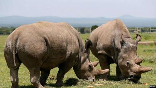 Para pakar hewan di Kenya mengatakan bahwa mereka berhasil mengambil telur-telur dari dua ekor badak putih.