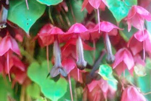 Bunga asli Inggris ini baru terlihat vulgar ketika sudah mekar secara sempurna