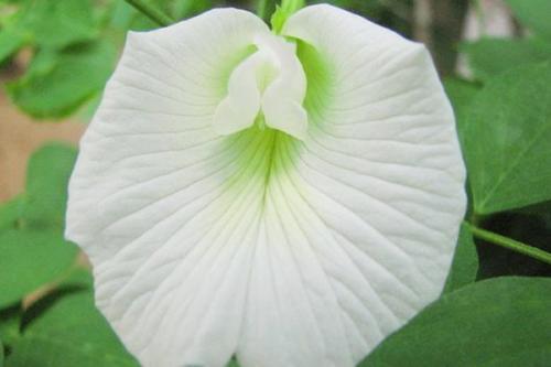 Clitoria ternatea berasal dari Asia dan juga bisa tumbuh di Afrika, Amerika, dan Australia.
