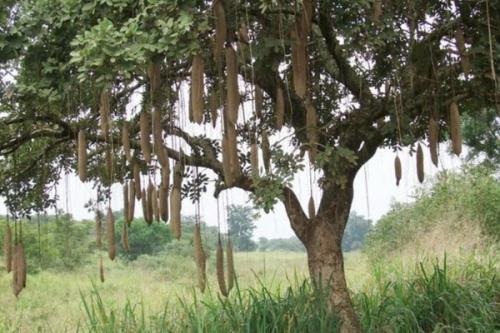 Selanjutnya ada sausage tree dari Afrika Timur
