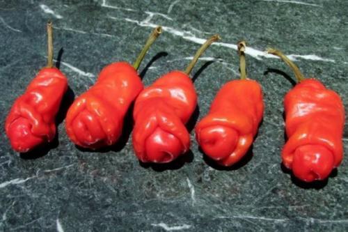 Peter's pepper juga sering disebut penis pepper