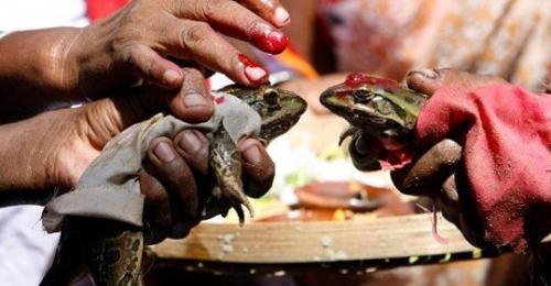 Tapi bagi masyarakat di desa Bhopal, India, upacara perkawinan dua katak dikatakan mampu membuka langit.