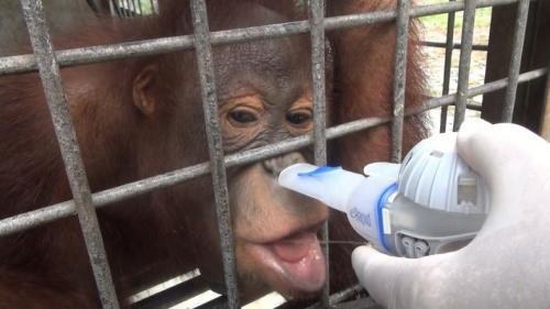 Orangutan Terkena ISPA Mengonsumsi Obat dengan Bantuan Alat Inhalasi di Pusat Rehabilitasi Nyaru Menteng Palangkaraya, Kalteng, Sabtu (21/9/2019). (Foto: iNews/Ade Sata)