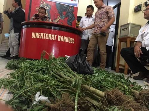 Tanaman ganja di areal padat penduduk berhasil diamannkan polisi (foto: Okezone/Demon Fajri)