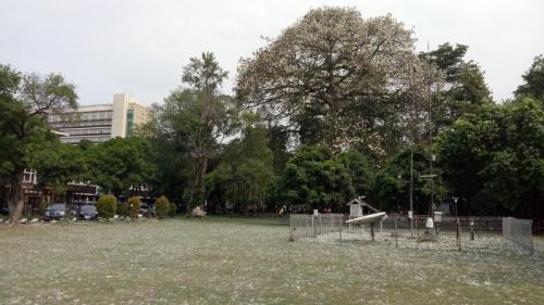 Serat Kapas Mirip Salju di area Taman Koleksi Kampus Institut Pertanian Bogor (IPB), Kota Bogor, Jawa Barat (foto: Okezone/Putra RA)