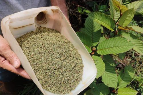 Kinerjanya sama seperti morfin sehingga membuat kratom menjadi obat herbal yang populer.