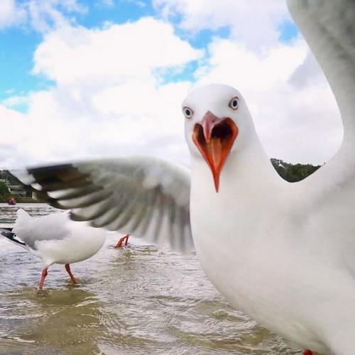 Burung laut ini bersarang di alam liar