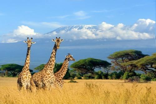 Gunung ini memiliki tiga puncak gunung berapi, yaitu Kibo, Mawensi dan Shira.