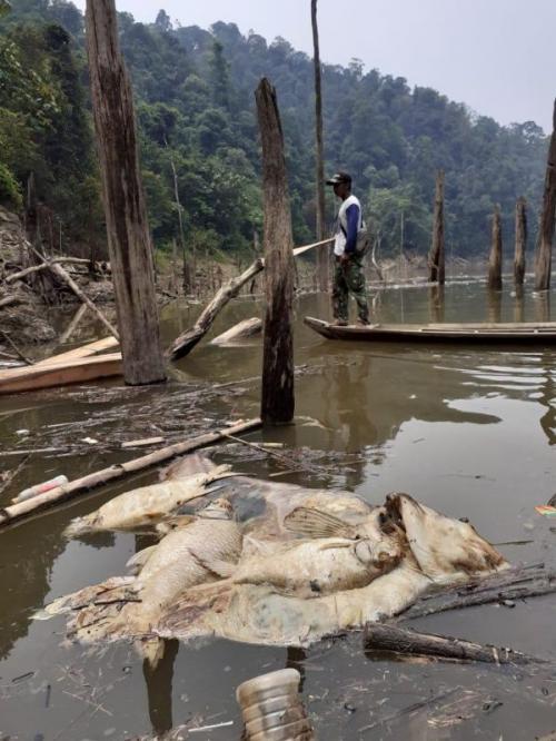 Ribuan Ikan Mati di Sungai Maek, Sumbar (Foto: Dokumentasi Walhi Sumbar/Ist)