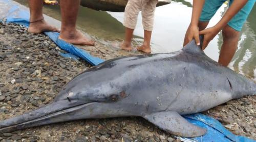 Bangkai Lumba-lumba di Mentawai
