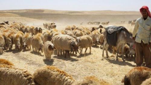 Domba di padang pasir
