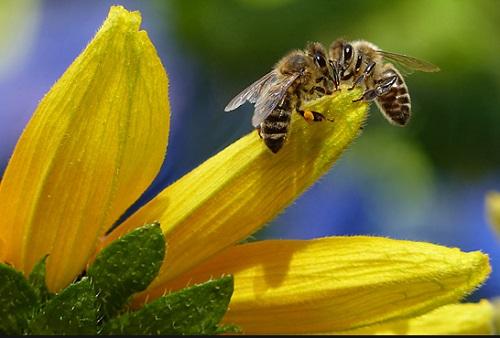 Lebah.