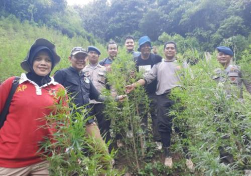 Ladang Ganja di Madina, Sumut
