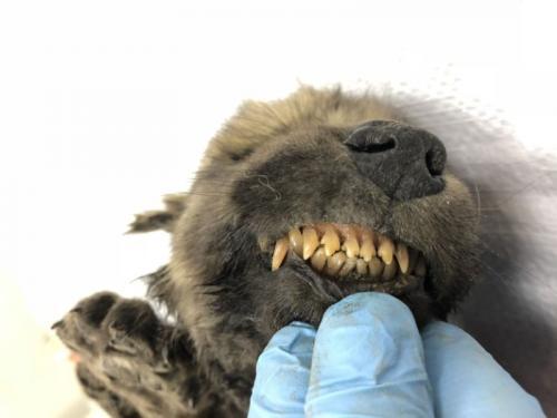 Dogor, nama anjing yang diyakini berusia 18.000 tahun ditemukan di es permafrost Siberia.