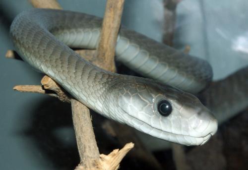 Ular kobra merupakan salah satu jenis ular yang memiliki bisa berbahaya.