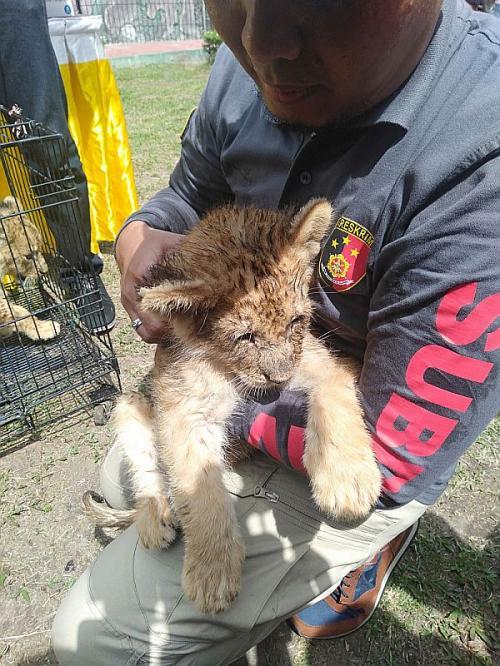 Polda Riau Gagalkan Penyelundupan 4 Anak Singa dan Leopard (foto: Okezone/Banda Haruddin Tanjung)