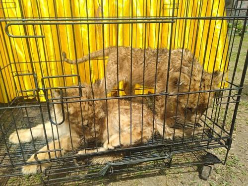 Penyelundupan anak singa dan leopard di Riau. (Foto: Banda Haruddin Tanjung/Okezone)