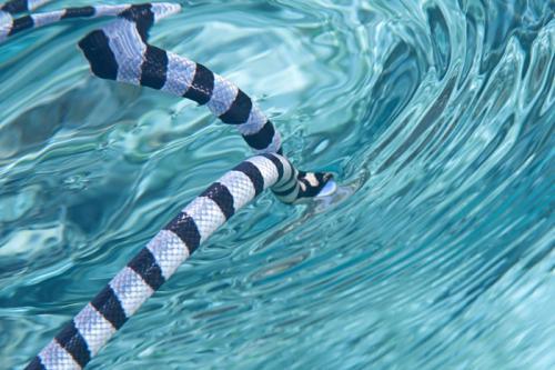 Ular belcher merupakan ular laut yang tersebar di perairan Maluku Utara dan Selatan.