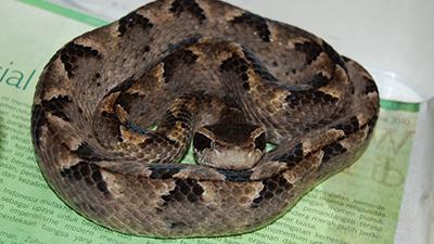ular ini dengan cepat menyergap mangsanya.