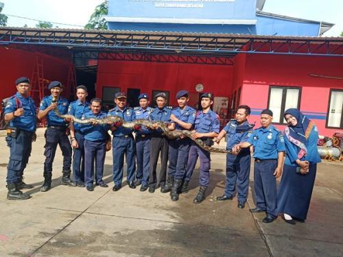Dinas Damkar dan Penyelamatan Kota Tangsel menangkap ular piton sepanjang 4,5 meter yang muncul di permukiman warga Pamulang. (Ist)