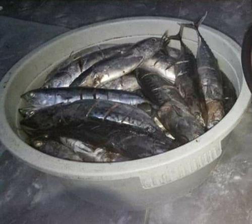 Ikan Tongkol Diduga Racuni Warga Kabupaten Jember (foto: Avirista M)