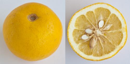 Jeruk Mandarin Sour Orange