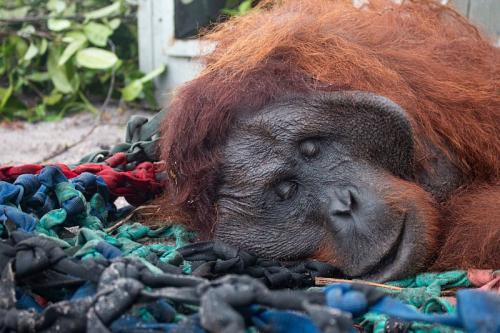 Orangutan masuk ke kebun warga (Foto : IAR Indonesia)