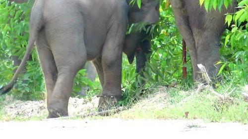 Seekor Gajah Sumatera Terkena Jerat di Konsesi Perusahaan Hutan Tanaman Industri di Talang Mandau, Kabupaten Bengkalis, Riau (foto: Ist)