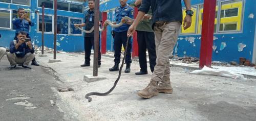 Ular di Cirebon