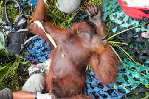 Penyelematan Orangutan
