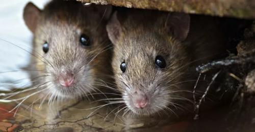 Gejala Penyakit  Obat Tradisional tikus