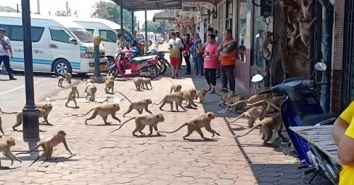 Ratusan Monyet