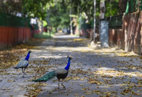 Ilmuwan menemukan bahwa bulu burung merak jantan dan betina memiliki perbedaan.