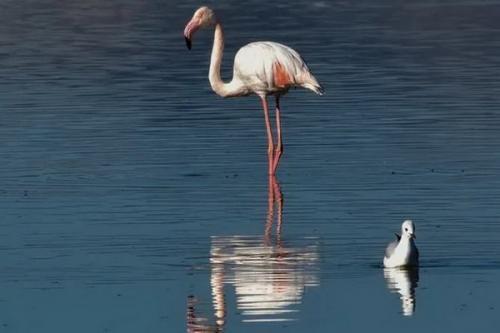 Flamingo terbang