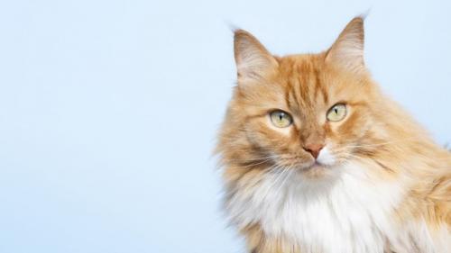 Peneliti menemukan fakta bahwa memberi makan sekali sehari lebih membuat kucing Anda sehat.