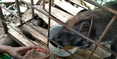 babi hutan sedang minum kopi