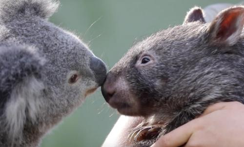 Koala dn Wombat