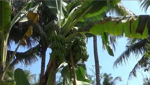 Pohon pisang ajaib