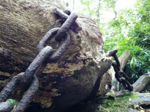 Pohon Oak