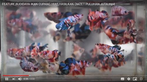 Menggiurkan Bisnis Ikan Cupang Raih Cuan Puluhan Juta Rupiah Okezone Economy