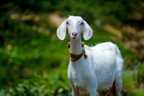 Ilustrasi kambing. (Foto: Unsplash)