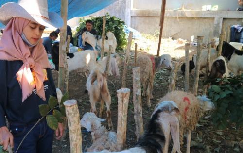 Hewan kurban kambing. (Foto: Avirista Midaada/Okezone)