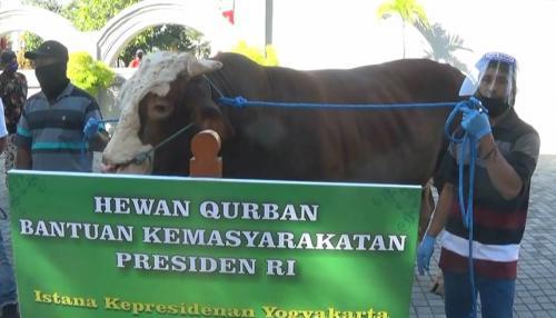 Sapi Kurban Jokowi